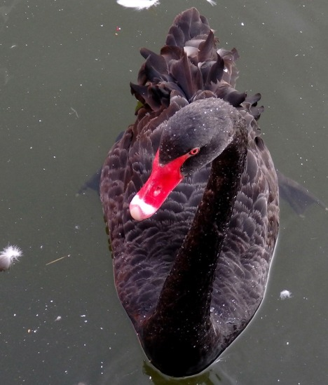 Ex-Cathedra black swan
